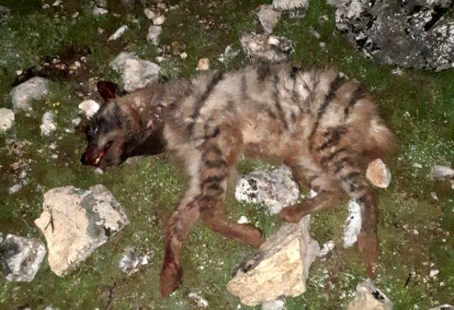 Adıyaman'da 4 kişi, koruma altındaki sırtlanı 2 köpeğe parçalatıp tüfekle öldürdü