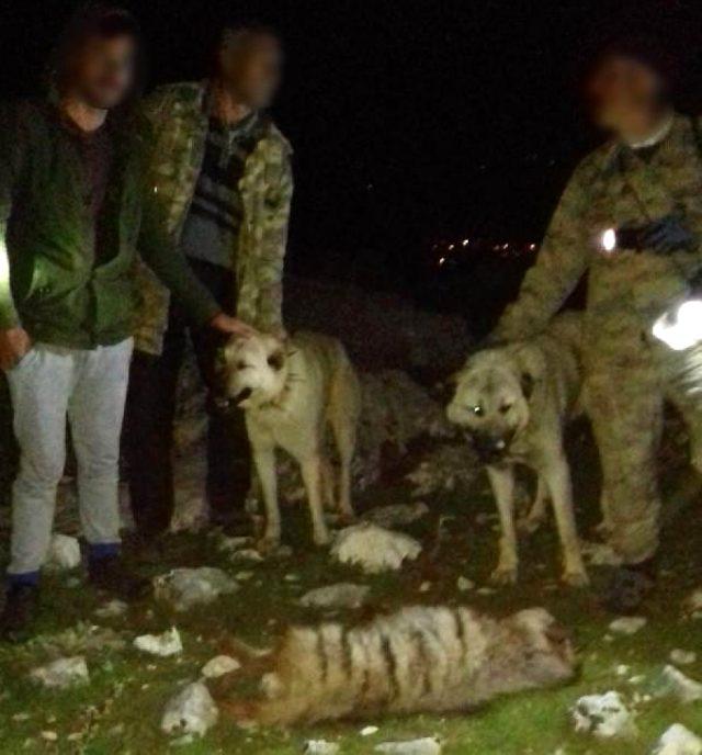 Adıyaman'da vahşet! 4 cani, koruma altında olan sırtlanı köpeklere parçalatıp, tüfekle öldürdü
