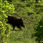 Ovacık'ta boz ayılar ve yaban domuzları görüntülendi