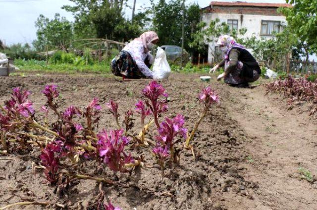 İşlenmiş toz hali 1000 lira olan salepte hasat sürüyor
