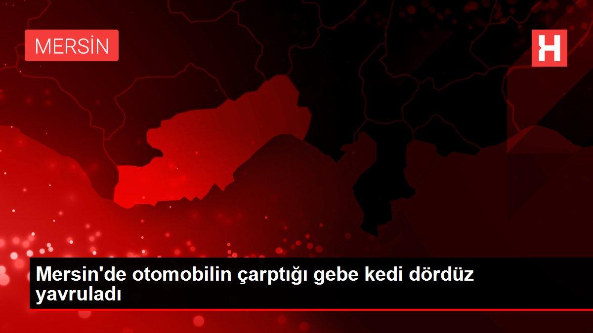 Mersin'de otomobilin çarptığı gebe kedi dördüz yavruladı