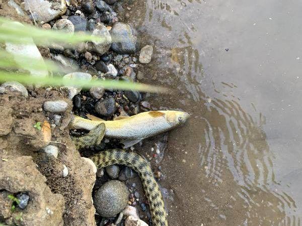 Yılanın akarsuda alabalık avı kamerada