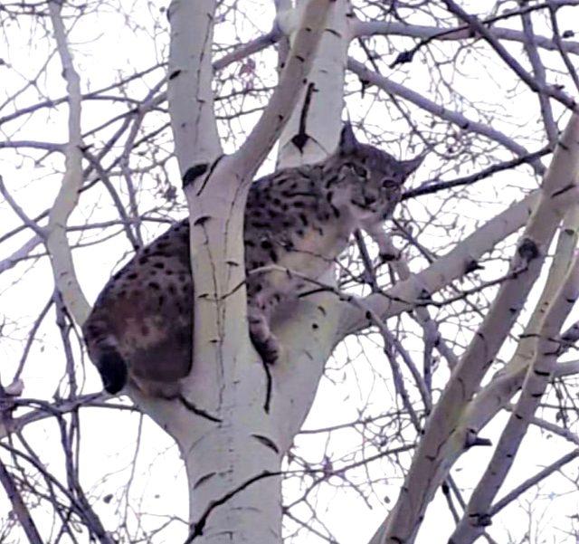 Nesli tükenme tehlike altında olan vaşak, ağaçtan sonra pusudayken görüldü