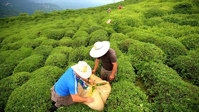 Türkiye çay ihracatından yılın ilk dört ayında 5,2 milyon dolar kazandı