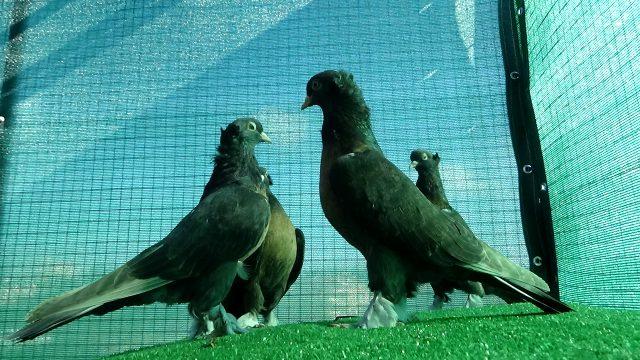 Yok böyle bir hobi! Klimalı kümeste beslediği güvercinlerin değeri ev fiyatında