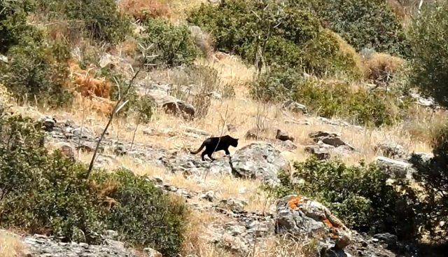 Bodrum'da ormanlık alanda görüntülenen ve jaguar sanılan hayvan, ev kedisi çıktı