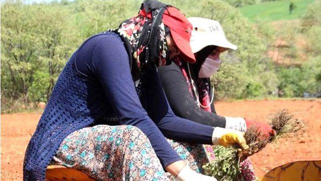 Kadının gücü! 25 dekarlık kıraç arazi kekikle canlanıyor