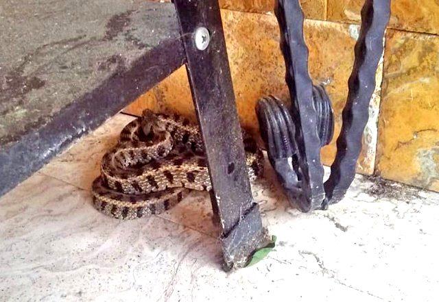 Köpeğinin tepki verdiği kadın, 1,5 metrelik engerek yılanını plastik kovayla yakaladı