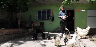 Samet Can: Bu horoz ve tavuklar dev cüsseleriyle dikkat çekiyor