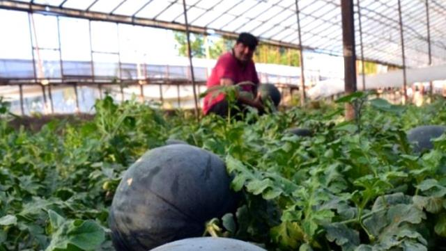 Antalyalı çiftçinin ürettiği kekik kokulu karpuza yoğun talep var, müşteri dalından koparıp götürüyor