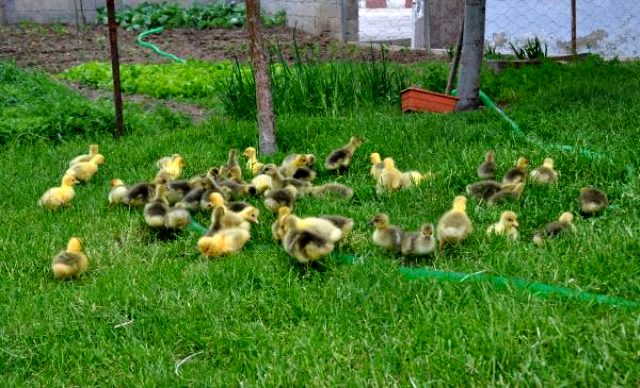 Fransız kazlarıyla çiftlik kuran memur, siparişlere yetişemiyor
