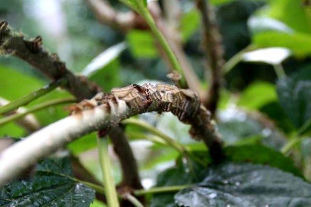 Karadeniz'de zararlı kelebek paniği! Üreticiler tarım alanları için endişeleniyor