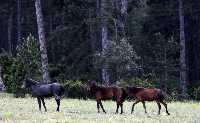 Üzerine roman bile yazılan yılkı atları, böyle görüntülendi
