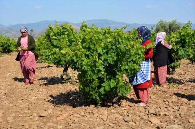 Üzüm yaprağı, meyvesinden 10 kat daha fazla kazandırıyor