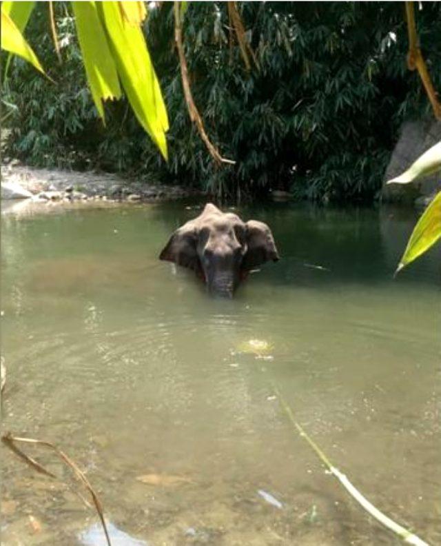 Hamile fil, kestane fişeği dolu ananası yedikten sonra öldü