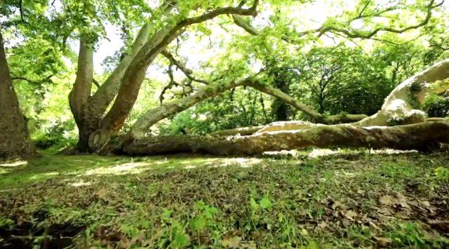 İstanbul'daki en yaşlı ağaç 1377 yaşında