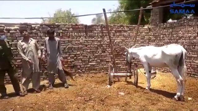 Pakistan'da sıra dışı bahis çetesi operasyonunda bir eşek gözaltına alındı