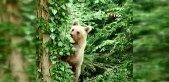 Karadere: Ağaca tırmanan ayı, objektife adeta poz verdi