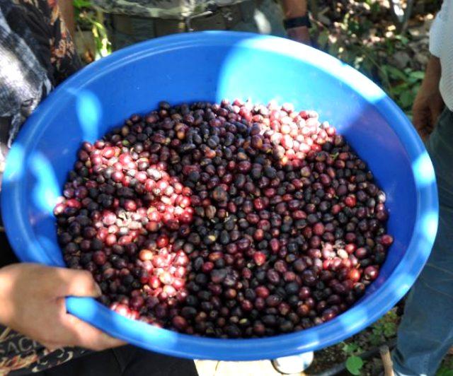 Türkiye'de bir ilk! Kahve ağacı yetiştirip meyvesini üretmeyi başardı