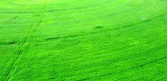 Narlısaray: Son dakika haberi: Amasya'daki Gökhöyük Tarım İşletmesinden tohumluk kenevir atağı