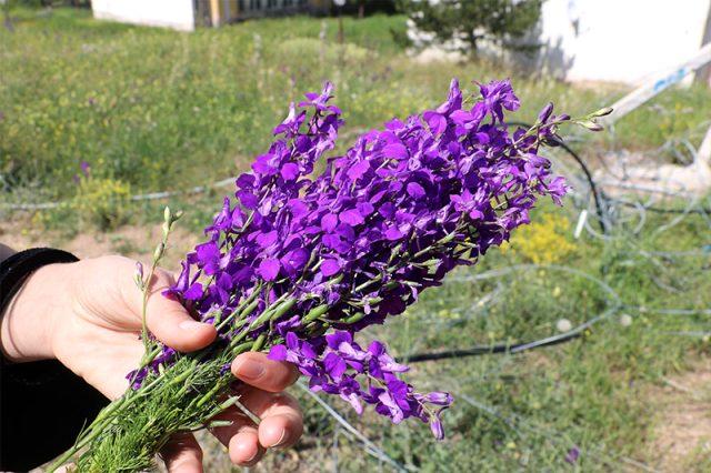 Sivaslıların çorbalara kattığı mor çiçek zehirli çıktı