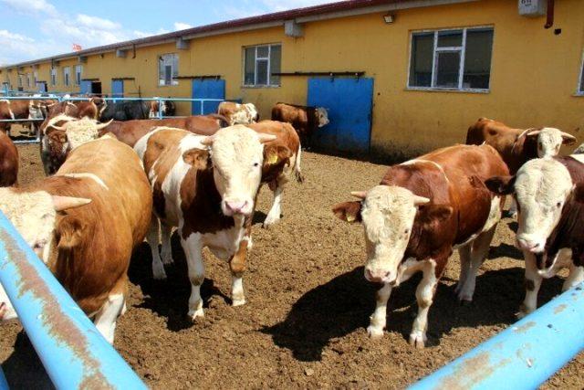 Köyde kurduğu çiftlik örnek oldu! Kazancını duyan tası tarağı toplayıp köye gitmek istiyor