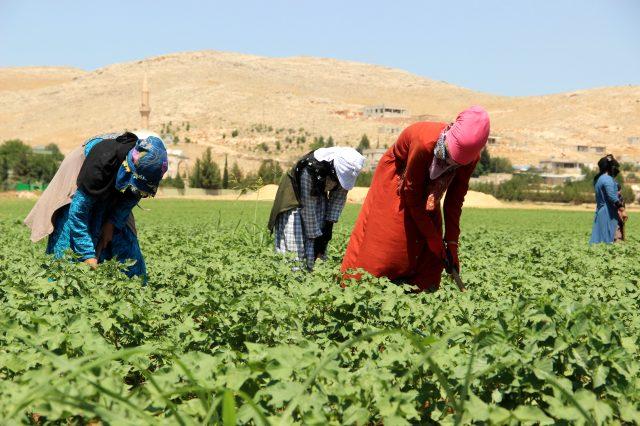 50 derece sıcaklıkta günlük 50 liraya çalışan Şanlıurfalı işçiler, çalışma şartlarının iyileştirilmesini istiyor