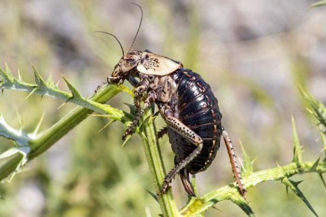 Dünyada sadece Türkiye'de bir bölgede görülen böceğin dişisi erkeğini yerken ilk kez görüntülendi