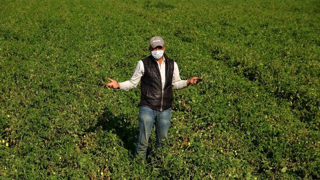 Türkiye'nin domates üretim merkezi olan Bursa'nın ovalarında ürünler kurudu, bu yıl salça fiyatları tavan yapacak