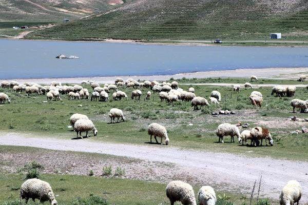Kayserili besiciler 4 bin lira maaşla çalışacak çoban bulamıyor