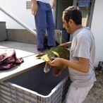 İzmir Körfezi'nde kıyıya vuran caretta caretta kurtarıldı