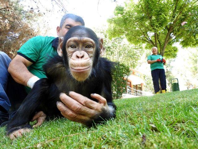 Şempanze Can'ın ziyaretçi mutluluğu