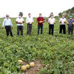 Bafra Ovası'nda kavun hasadı başladı