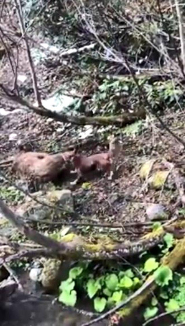 Yavru ayıyı vuran ve köpeklerine işkence yaptıran avcı yakalandı