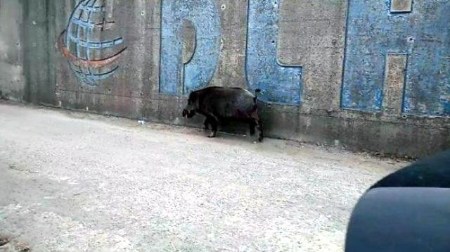 Son dakika haber   Denizden yüzerek balıkçı barınağına gelen yaban domuzu öldürüldü