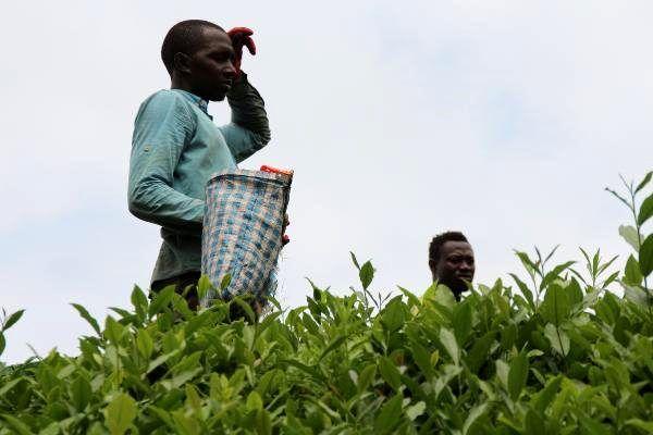 Afrikalı öğrenciler, çay hasadı yapıyor