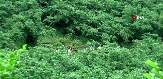 Akut: Giresun'un Bulancak ilçesi Semen Yaylası'nda kaybolan Elif her yerde aranıyor