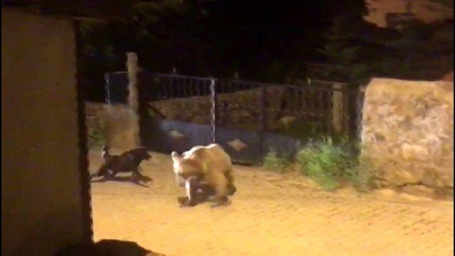 Yavru boz ayı kaçtı, köpek kovaladı