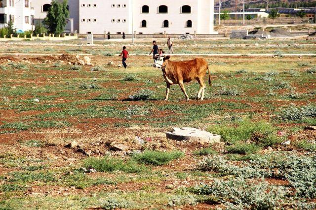 Şanıurfa'da kaçan kurbanlıklar zor anlar yaşattı