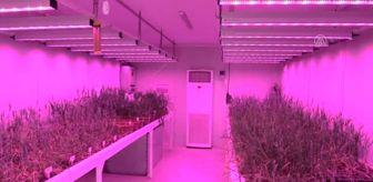 Son Dakika: Buğdayın laboratuvardaki hasadı 8 aydan 2 aya düştü
