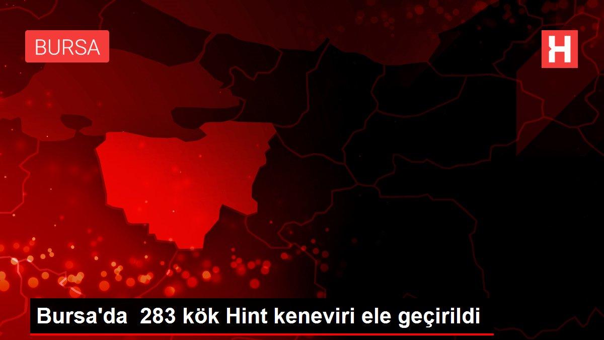 Bursa'da  283 kök Hint keneviri ele geçirildi