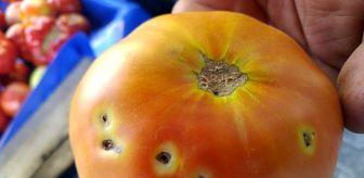 Denizli: Çiftçi domates güvesi ile mücadele ediyor