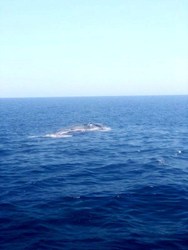 Finike Körfezi'nde ölü balina görüntülendi