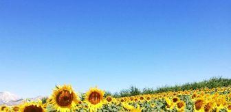 Erdal Yılmaz: Gölbaşı ilçesinde ayçiçeği hasadı başladı