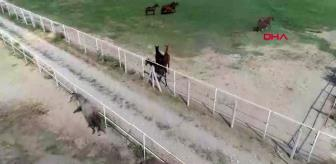 Gazi Koşusu: KONYA Türkiye'nin şampiyon atları bal ve pekmezle yetişiyor