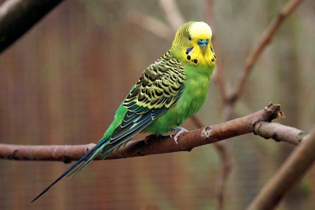 Rüyada muhabbet kuşu görmek ne anlama gelir? Rüyada muhabbet kuşu yakalamak nedir? Rüyada mavi muhabbet kuşu görmek