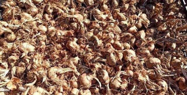 Kilosu 30 bin liradan satılan 'mucize bitki' safranın ekimi başladı