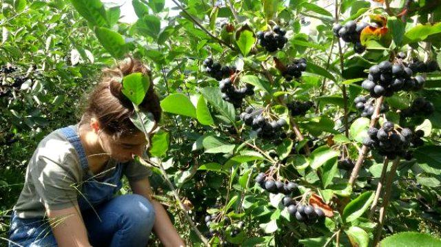 Bir dönüm araziden 40 bin lira kazandırıyor! Ana vatanı Kuzey Amerika olan aronya meyvesini Trabzon'da yetiştirdi