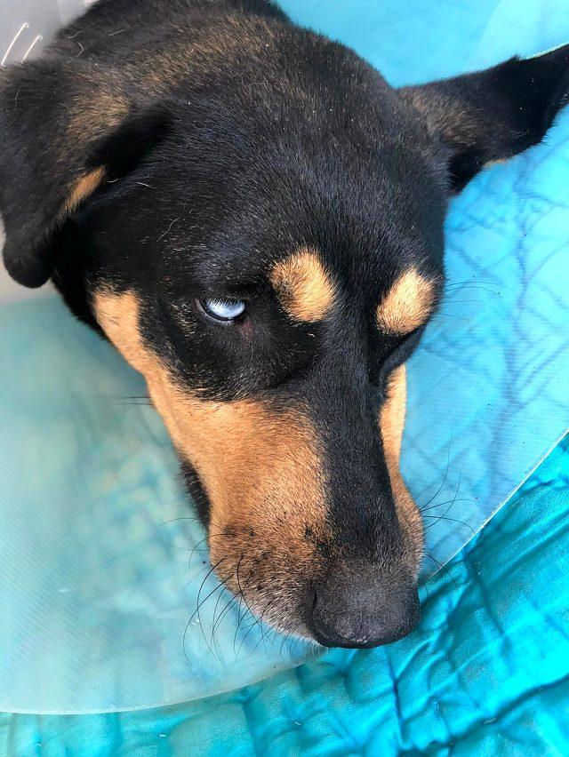 Hayvanseverleri isyan ettiren olay: Köpeğin cinsel organından el feneri çıkarıldı