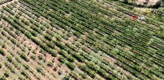 Koyulhisar: Eline makası alan Vali üzüm hasadı yaptı